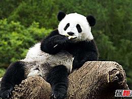 世界上最大的熊猫 体重超过300公斤(国宝中的国宝)