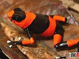 世界上最毒的青蛙 红带箭毒蛙(能瞬间毒死2万只老鼠 剧毒且不可解)