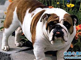 美国斗牛犬价格斗牛犬的价格是基于什么