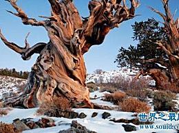 最古老的树有9500年的历史!