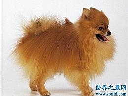 一个博美犬多少钱?你选择波美拉尼亚语作为家教!