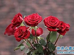 玫瑰的颜色和它的寓意让人喜欢