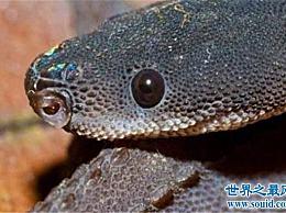 世界上最奇怪的蛇 爪哇闪皮蛇这个名字已经够奇怪的了