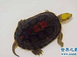 你对金头箱龟的鉴别方法了解多少?