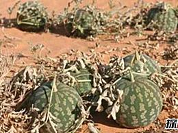 生长在沙漠中的西瓜:药葫芦(如果含有毒 它会死)