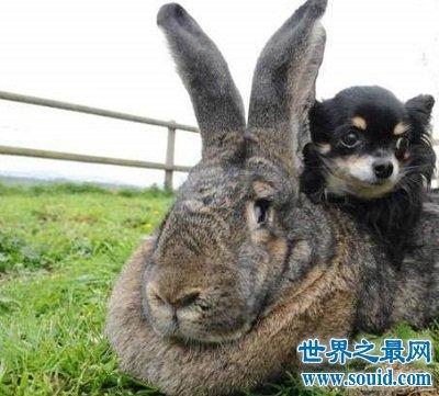 世界上最大的兔子有1.22米的体长和惊人的食欲!