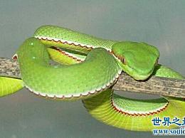 竹青蛇最怕雄黄酒 就像白娘子传说中的白蛇