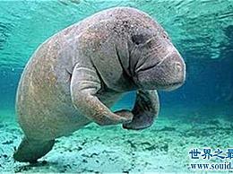 世界十大有趣动物 海牛真的超级可爱