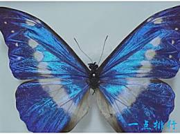 世界上最美丽的蝴蝶翅膀会变色 展开翅膀像孔雀一样骄傲