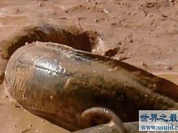 世界上最重要的鱼是非洲肺鱼