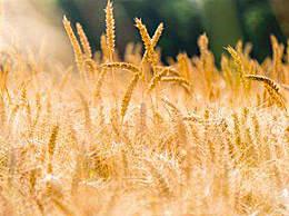 中国小麦产量居河南首位