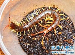 世界上最大的巨型蜈蚣 它让人头皮发麻!