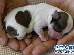 最小的狗可爱娇小 但有这些可怕的缺点