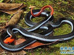 长有蓝色腺体的珊瑚蛇可以长到两米长 并且含有有害的血液毒素