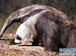 世界上最大的食蚁兽 大食蚁兽(2.4米长/65公斤重)