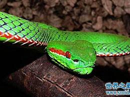 中国十大毒蛇中最美丽的毒蛇――竹叶青蛇 绝代佳人