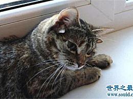 世界上耳朵最多的猫 五只耳朵的猫已经成为世界上最好的!