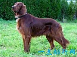 世界十大最友好的狗排名狮子狗第二
