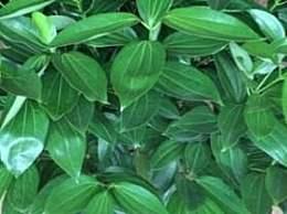 平安树的栽培方法