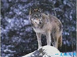 世界上最大的狼 在基奈半岛狼的肩膀高达1米 这是因为人类的杀戮而灭绝