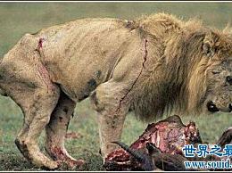 历史上最大的狮子 巴巴里狮子 最大3.6米 是人类身高的两倍