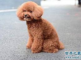 最常见的狗品种 小短腿 考克 女王的最爱