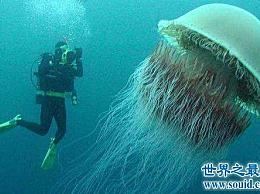 世界上最大的水母 颜色鲜艳但毒性极强!