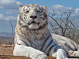 世界上只有两只纯粹的孟加拉虎 为了紧急保护 它们现在濒临灭绝
