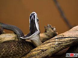 世界上移动最快的蛇 黑曼巴蛇是每秒6米(一种毒药可以杀死20个人)