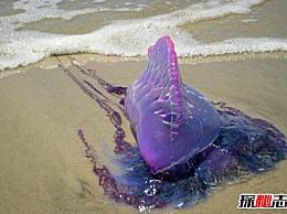 世界上最毒的水母 卷尾水母(如果你被蛰了 你会死的)