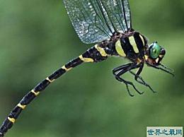 世界上杀死率最高的蜻蜓是丛林之王狮子的四倍