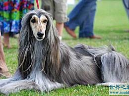 世界上最美丽的狗品种之一被禁止繁殖