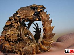 历史上最像龙的动物 南非鬣蜥是愚蠢的 接近天价(视频)