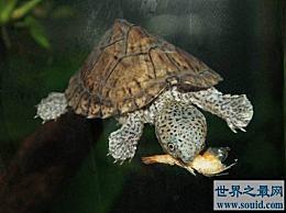 世界上最凶猛的剃刀龟可以互相撕咬并咬人