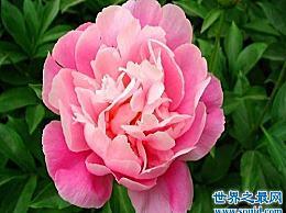 世界上最美的花 娇嫩的牡丹花