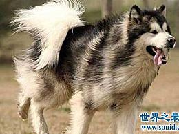 什么是雪橇狗?雪橇三傻强大的攻击!