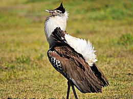 现存最重的飞鸟:灰颈苍鹭 相当于一个3岁的孩子(重20公斤)