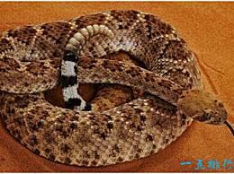 世界上最神奇的蛇 响尾蛇死后会咬人