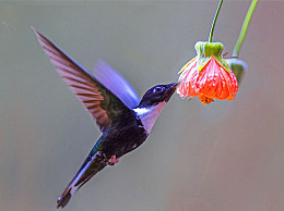 世界上最轻的鸟:吸蜂鸟 比一美元硬币轻(只有1.6克)