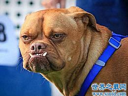 世界上最丑的狗的迷人外表使人看起来直而辣