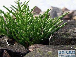 世界上最著名的耐盐植物 含水量92%