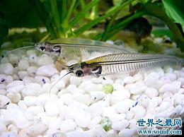 玻璃猫实际上是一种鱼?喂养小贴士教你如何保持健康!