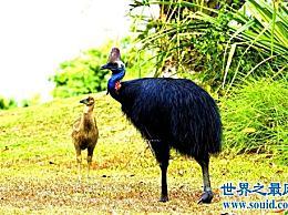 世界上最危险的鸟 它能钩住人类的内脏!