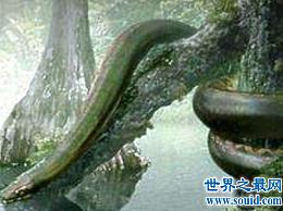 泰坦魔芋可以吃半吨钝鼻鳄鱼和3米长的肺鱼