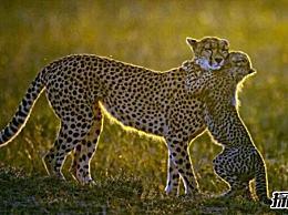 世界十大禁猫:第一个速度极快 第四个超级凶猛 可以吃人