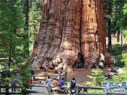 谢尔曼将军的树有80多米高 有3500年的历史