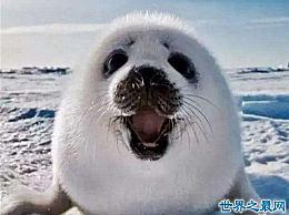 世界上最小的海豹 贝加尔海豹有1米长 是唯一生活在湖中的海豹