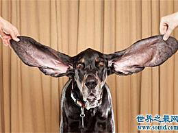 世界上耳朵最长的狗耳朵比身高长
