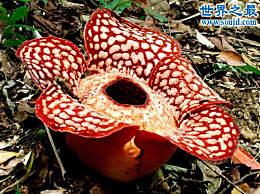 世界上最大的花 国王花(传说中的食人花)的图片