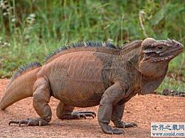 世界上寿命最长的犀牛鬣蜥活了69年